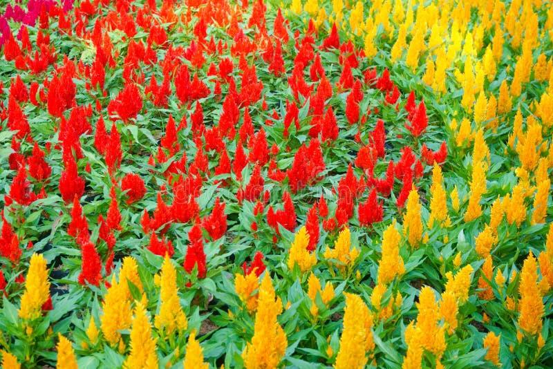 Flor colorida del celosia en el jard?n Fondo floral hermoso del fondo? con las flores coloridas fotos de archivo libres de regalías