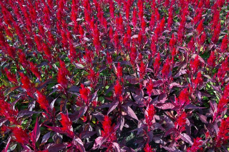 Flor colorida del celosia en jardín foto de archivo libre de regalías