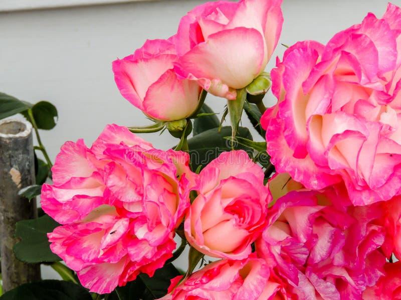 Flor colorida del jardín, Ranui, Auckland, Nueva Zelanda fotografía de archivo