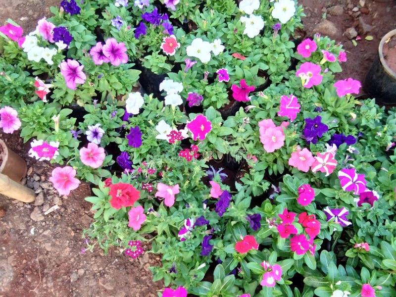 Flor colorida del parque indio imágenes de archivo libres de regalías