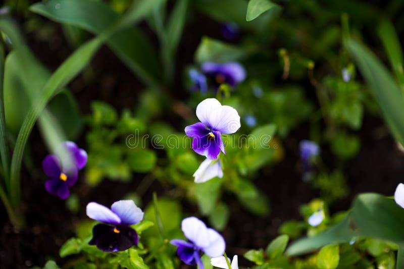 Flor colorida del pensamiento conocida como viola var tricolor el hortensis florece en un jardín botánico en un fondo verde fotos de archivo libres de regalías