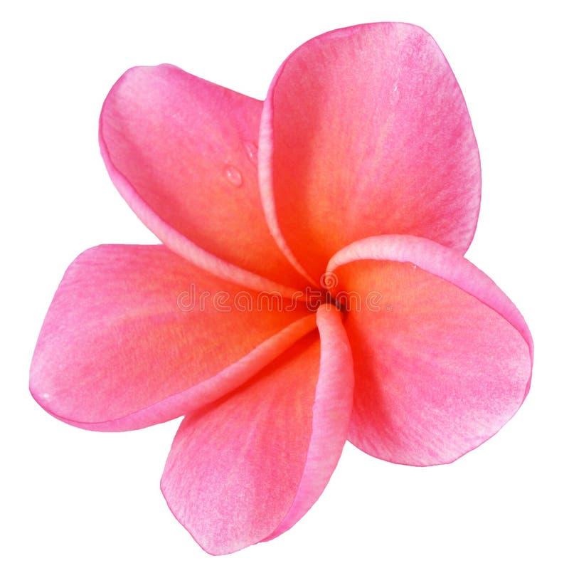 Flor colorida del plumeria aislada en blanco fotografía de archivo libre de regalías