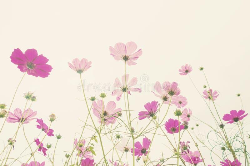 Flor colorida do cosmos do foco macio foto de stock royalty free