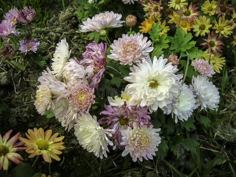 Flor colorida dos mums que floresce no inverno fotografia de stock royalty free