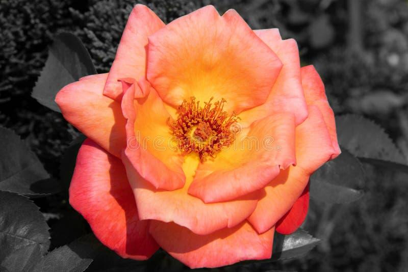 Flor colorida en el fondo blanco y negro imagen de archivo