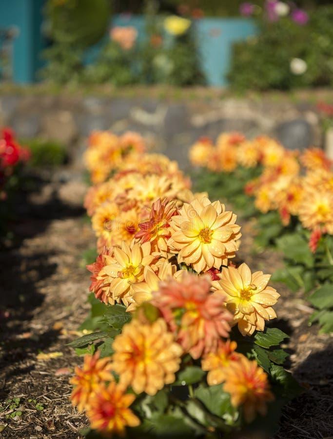 Flor colorida en jardín fotos de archivo