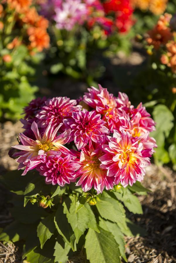 Flor colorida en jardín imagenes de archivo