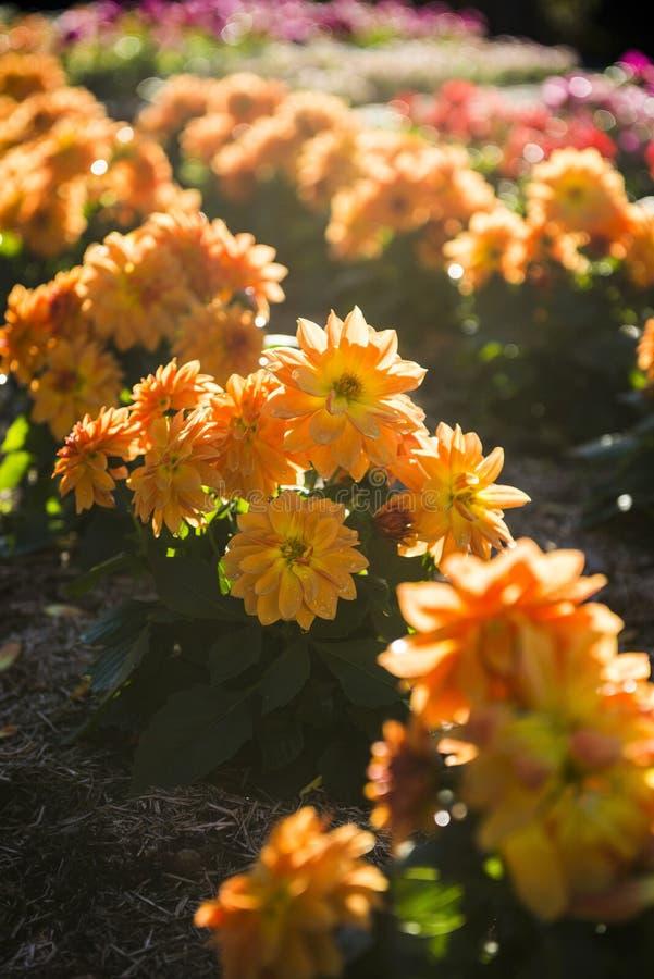 Flor colorida en jardín fotografía de archivo libre de regalías