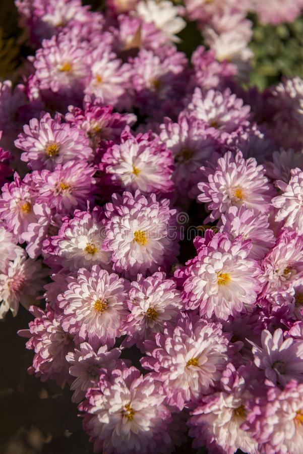 Flor colorida en jardín foto de archivo