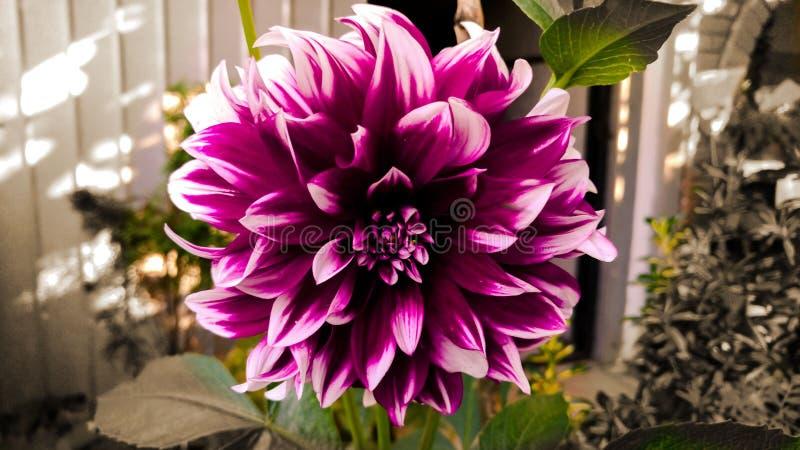 Flor colorida hermosa, sepia imagenes de archivo