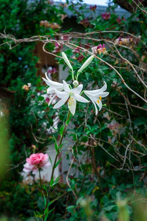Flor colorida no jardim imagem de stock