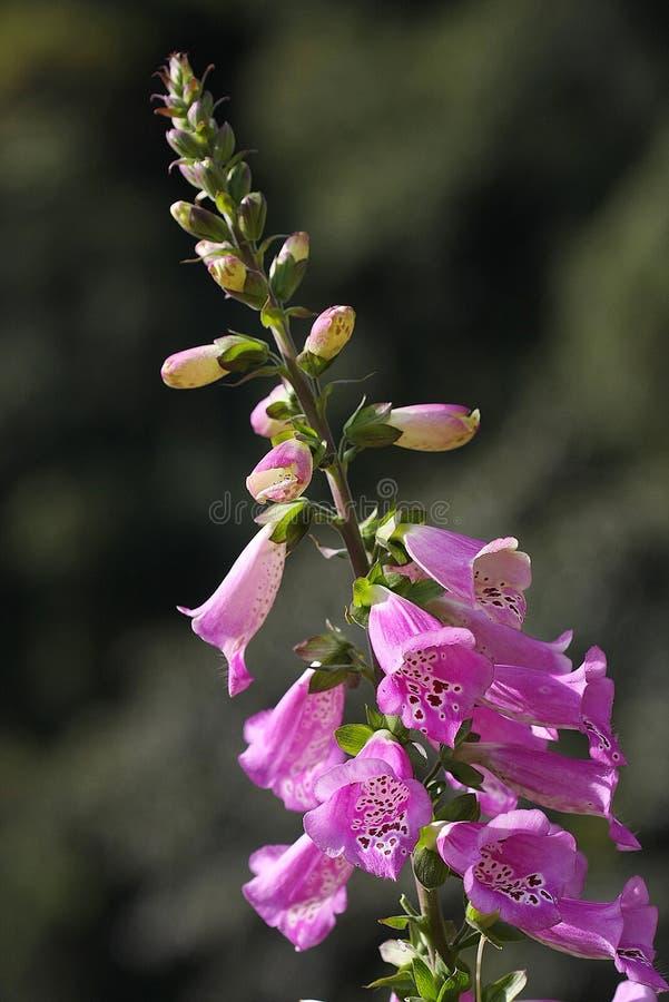 flor colorida no norte de Tailândia fotografia de stock royalty free