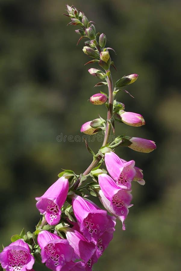 flor colorida no norte de Tailândia foto de stock