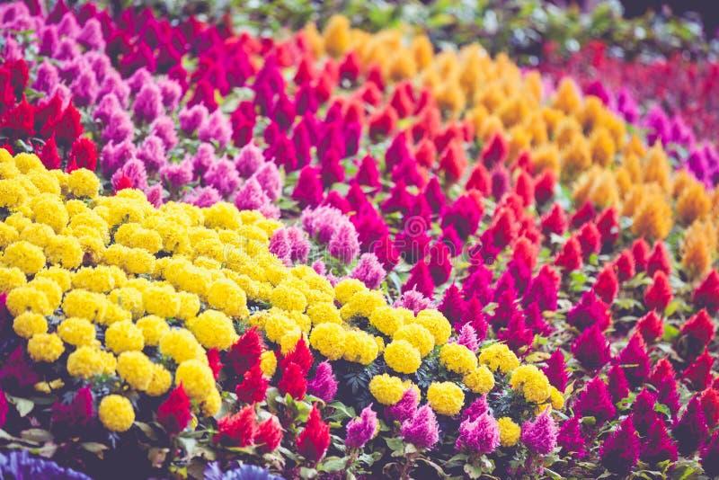 Flor colorida que floresce no parque, campo das flores foto de stock