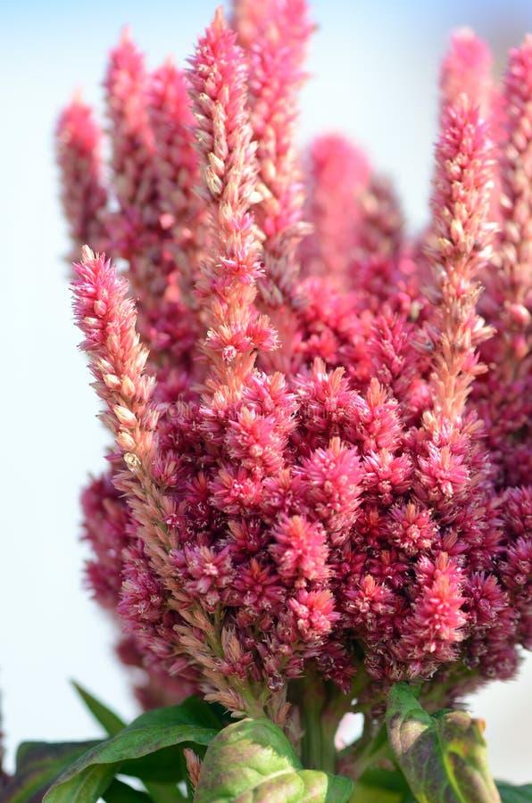 Flor colorida vermelho do amaranto - Celosia imagem de stock royalty free