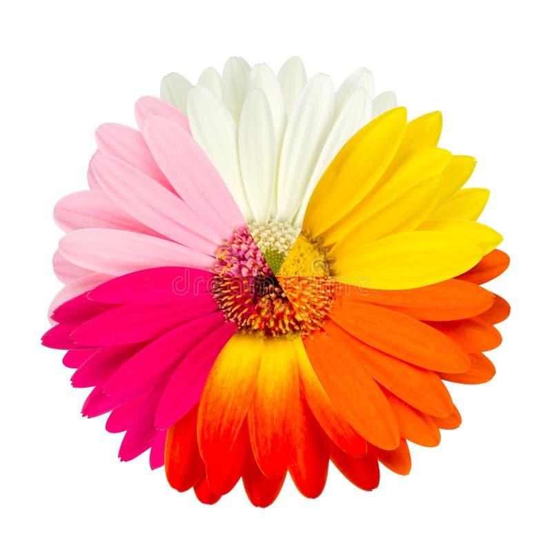 Flor colorido do gerbera foto de stock