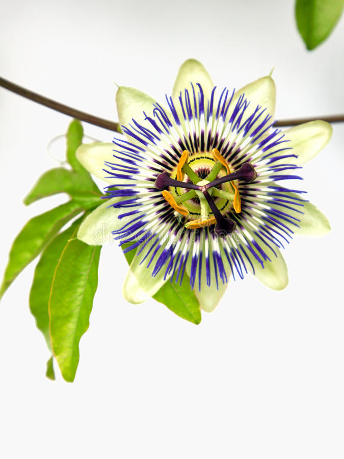 Flor común aislada de la pasión (caerulea de la pasionaria) foto de archivo