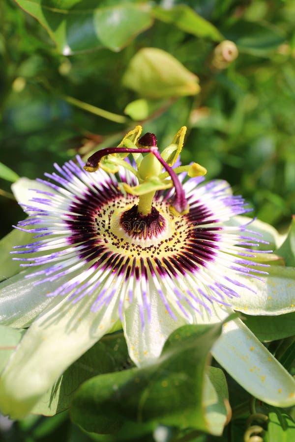 Flor común de la pasión foto de archivo libre de regalías