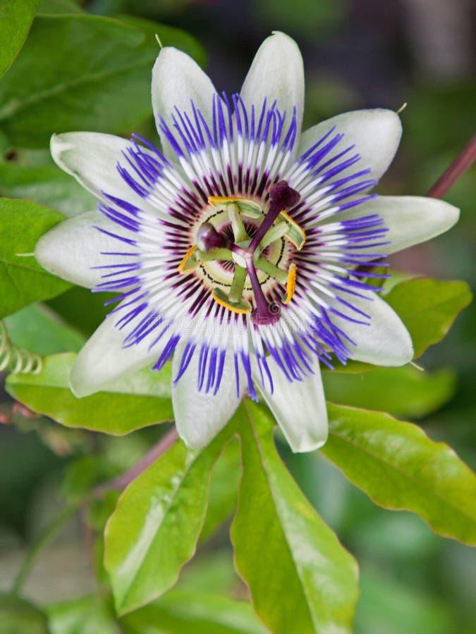 Flor común de la pasión (caerulea de la pasionaria) fotos de archivo