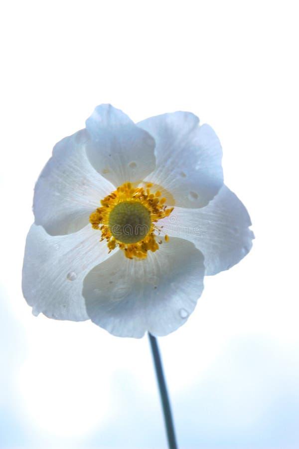 Flor com folhas da anêmona três contra o céu azul foto de stock