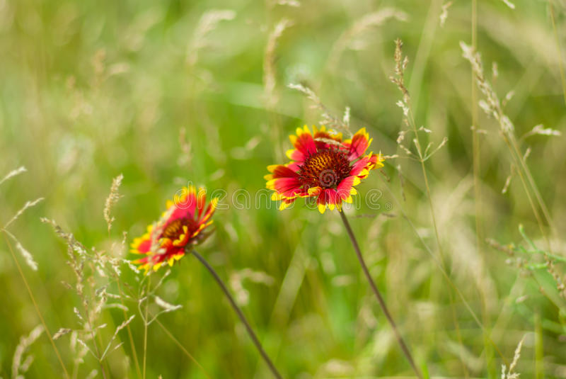 Flor combinada india salvaje hermosa foto de archivo libre de regalías