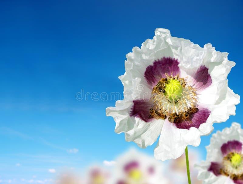 Flor comestível da papoila com abelhas fotos de stock
