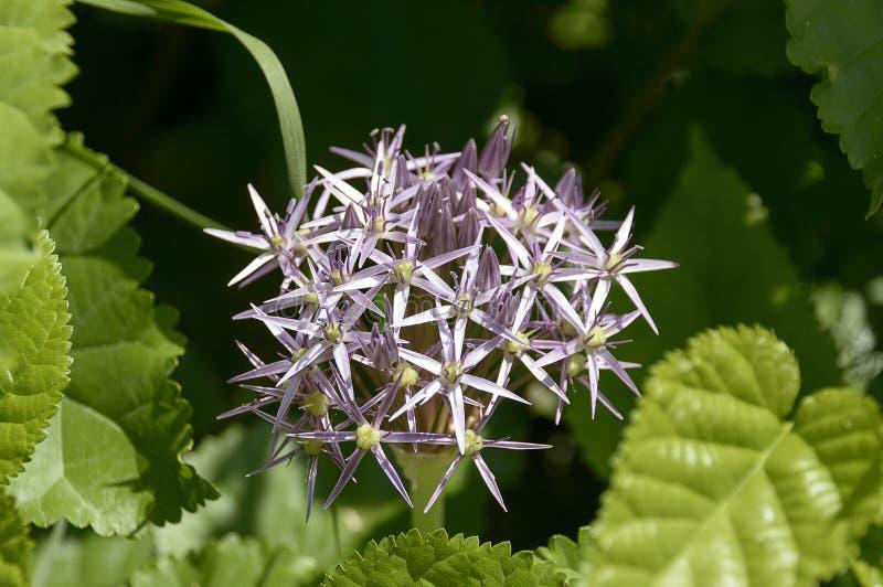 Flor como una estrella fotografía de archivo libre de regalías