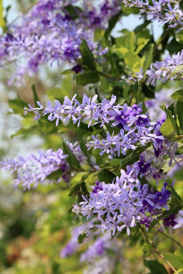 Flor completa da flor roxa do racemosa do petrea da videira da lixa no verão imagens de stock royalty free