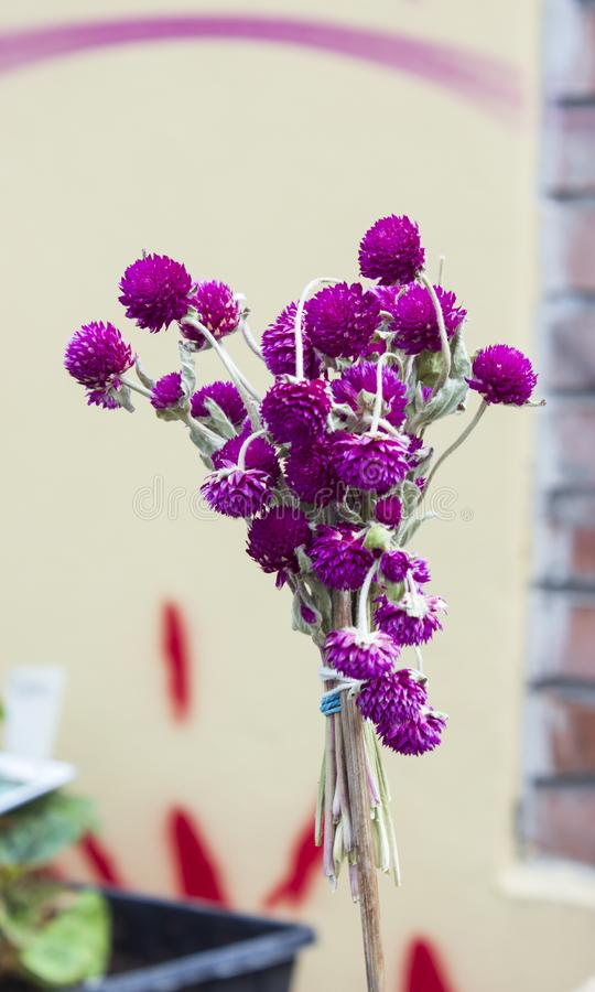 Flor composta do ammobium tingido fotografia de stock royalty free