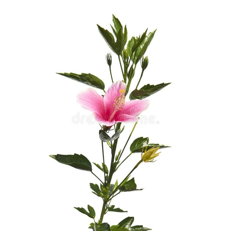 Flor con las hojas, flor rosada tropical del hibisco o de la malva color de rosa aislada en el fondo blanco, con la trayectoria d fotos de archivo