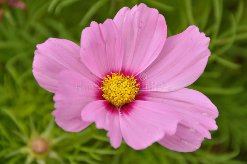 Flor con Pale Pink Petals y el fondo verde fotos de archivo