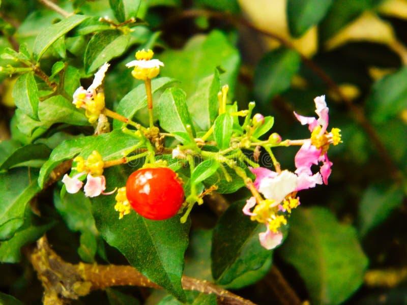 Flor con sabor a fruta imagenes de archivo