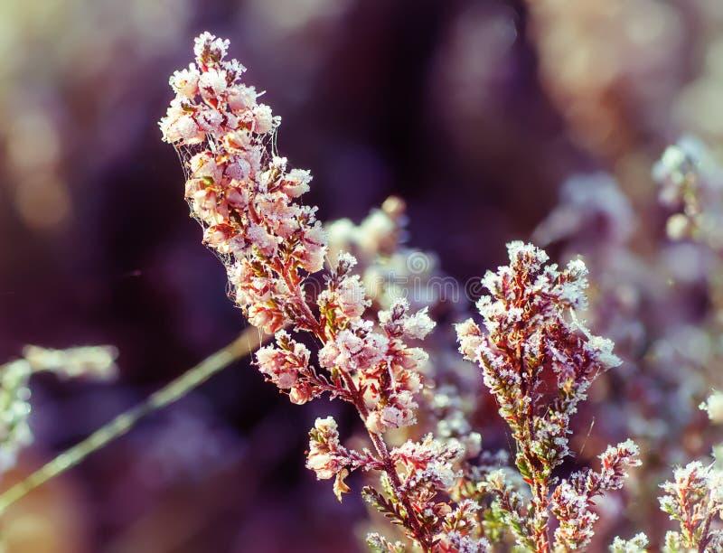Flor congelada da urze foto de stock