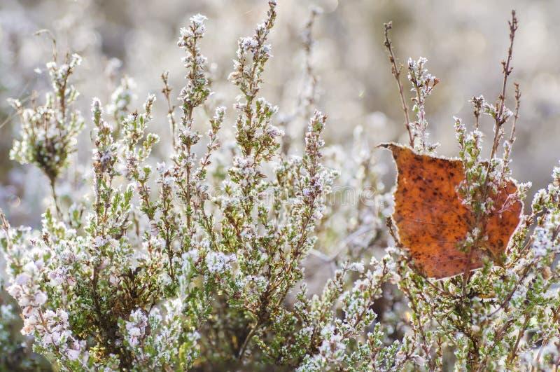 Flor congelada da urze fotos de stock