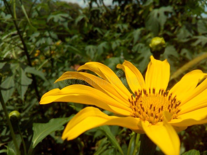 Flor consideravelmente amarela ensolarada fotos de stock royalty free