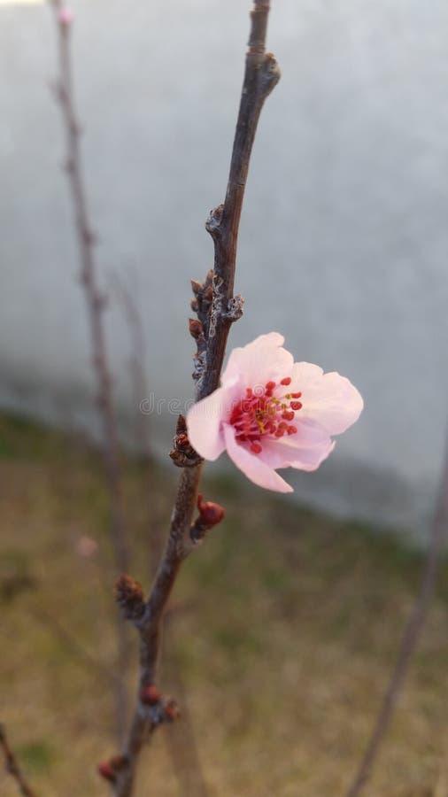 Flor consideravelmente vermelha do rosa da ameixa foto de stock royalty free
