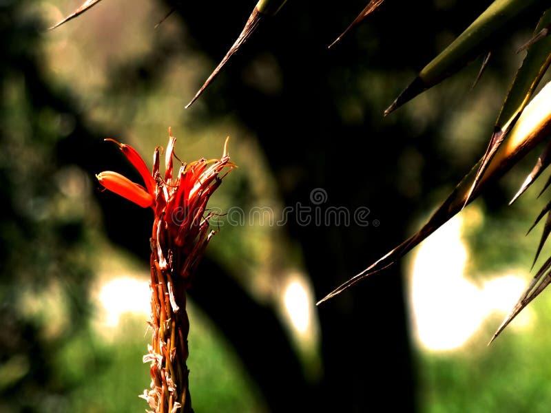Flor contra os espinhos fotografia de stock royalty free