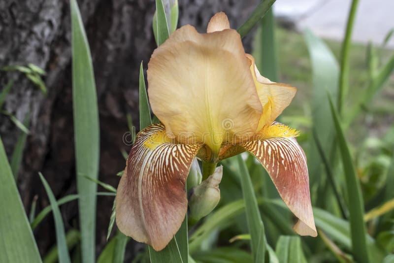 Flor contra tronco de árbol - el germanica del iris ofrece caliente, confortando tonos con estándares amarillos y caídas del cane imagen de archivo