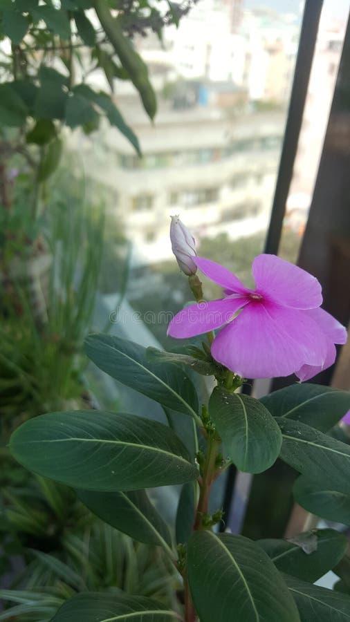 A flor cor-de-rosa imagem de stock