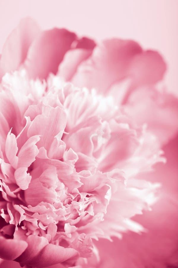Flor cor-de-rosa abstrata do peony imagem de stock royalty free