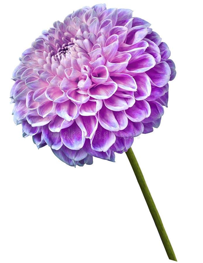 A flor cor-de-rosa-azul bonita da dália em um branco isolou o fundo Flor na haste closeup foto de stock