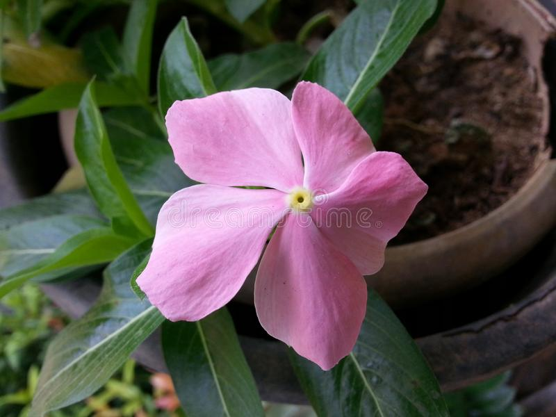 Flor cor-de-rosa de Beautful da cor da obscuridade da natureza de Sri Lanka imagem de stock royalty free