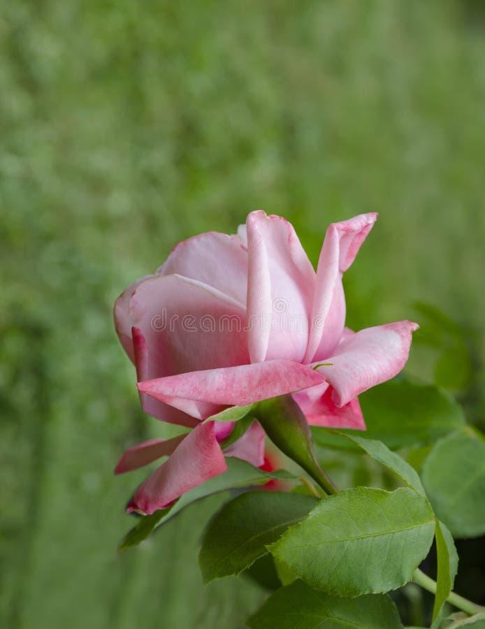 Flor cor-de-rosa bonita imagem de stock royalty free
