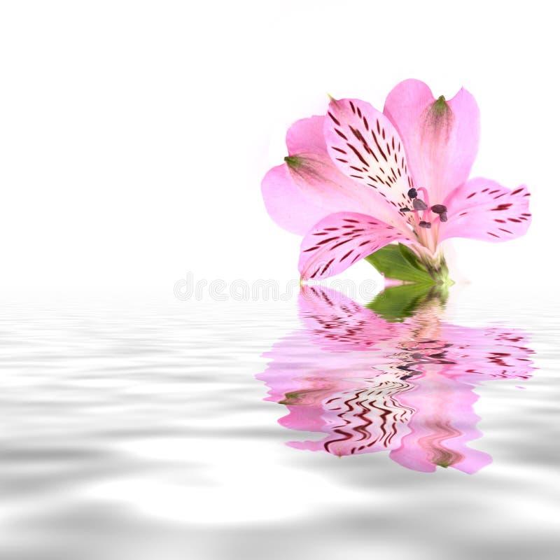 Flor cor-de-rosa bonita fotos de stock