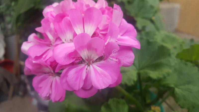 Flor cor-de-rosa bonita fotografia de stock royalty free