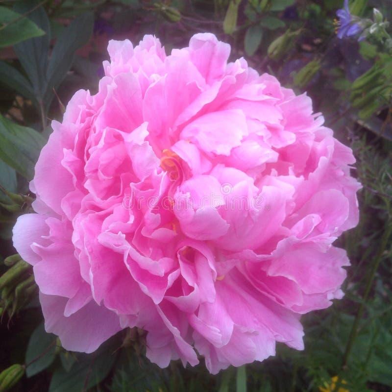 Flor cor-de-rosa bonita da peônia na flor foto de stock