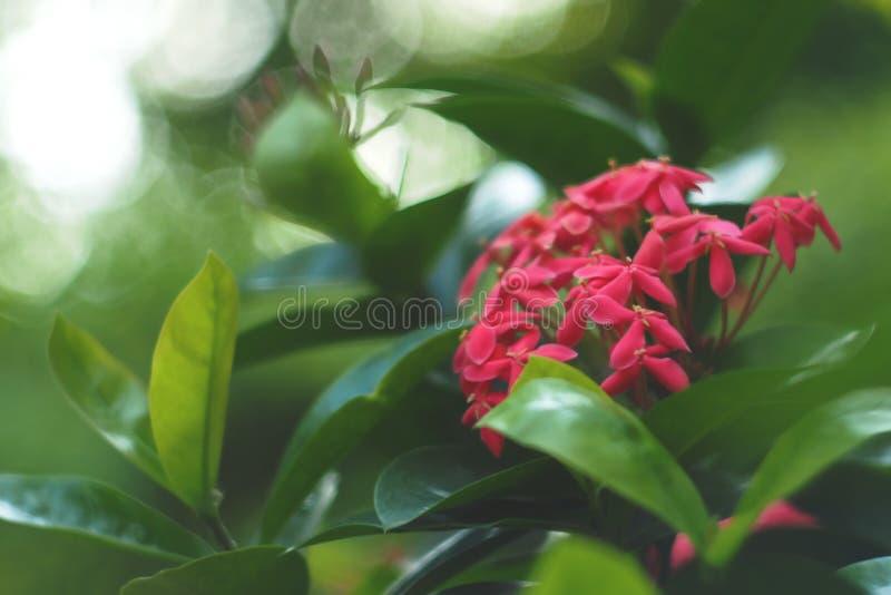 Flor cor-de-rosa bonita de Ixora imagem de stock royalty free