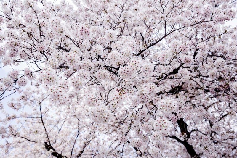 Flor cor-de-rosa bonita de Sakura da flor de cerejeira na flor completa imagens de stock royalty free