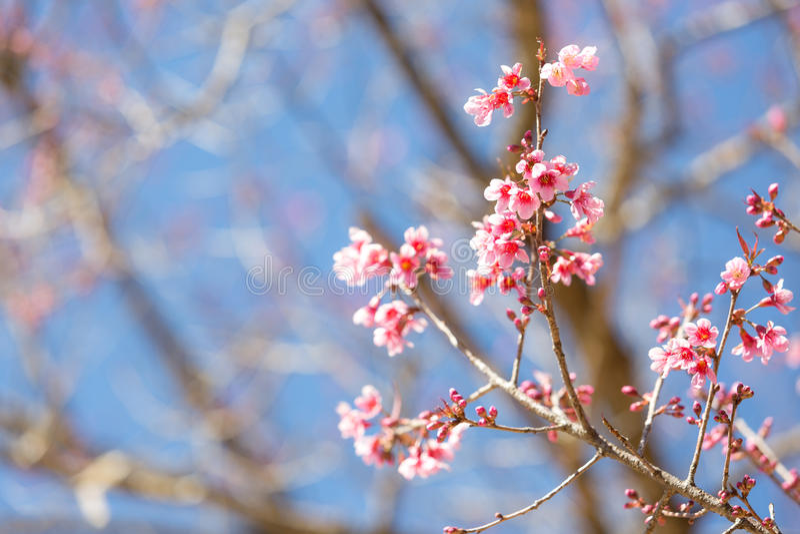 Flor cor-de-rosa bonita de Sakura que floresce no fundo do céu azul foto de stock royalty free