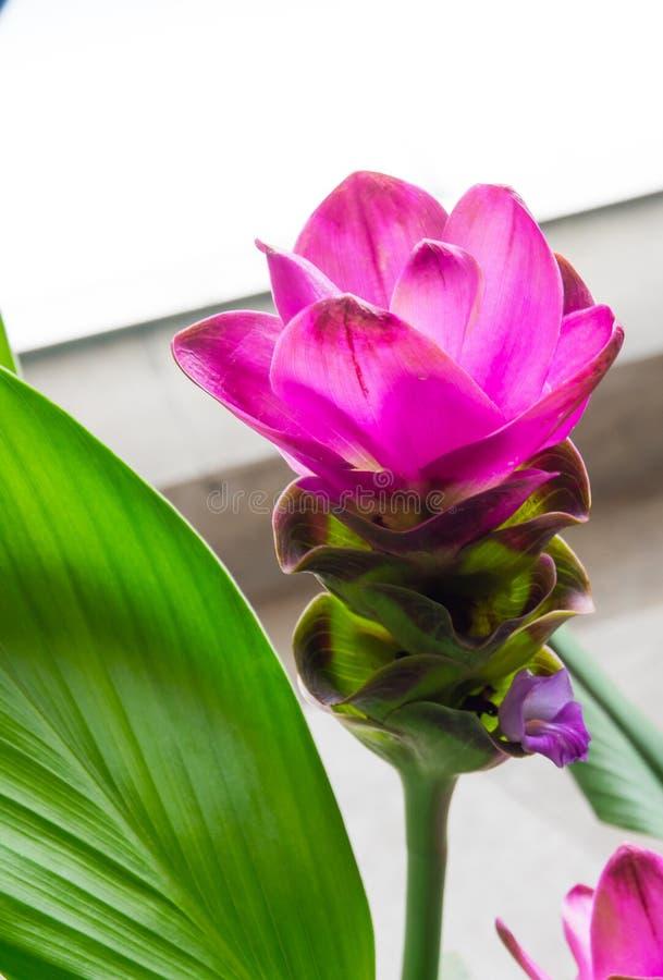 Flor cor-de-rosa bonita do alismatifolia da curcuma no fim acima em um jardim botânico fotos de stock